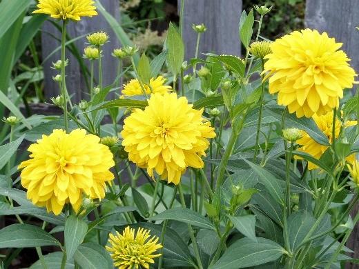 """цветы рудбекия сорт """"золотой шар"""", посадка и уход"""