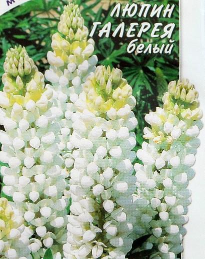 люпины, посадка и уход семена многолетний сорт галерея, белый