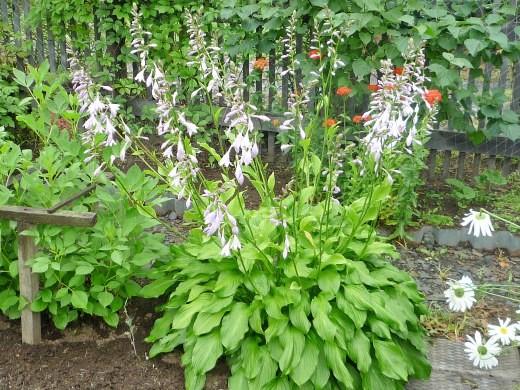 выращивание хосты на даче, посадка и уход