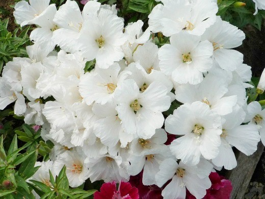 выращивание цветов годеции 10