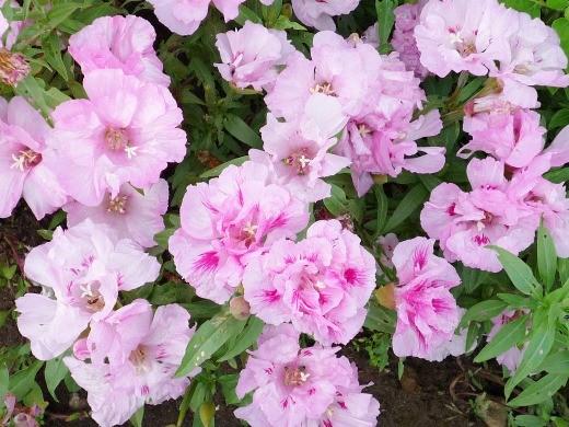 выращивание цветов годеции 11