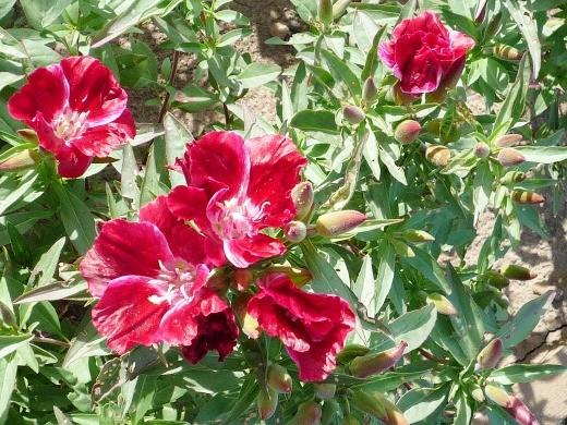 выращивание цветов годеции 12