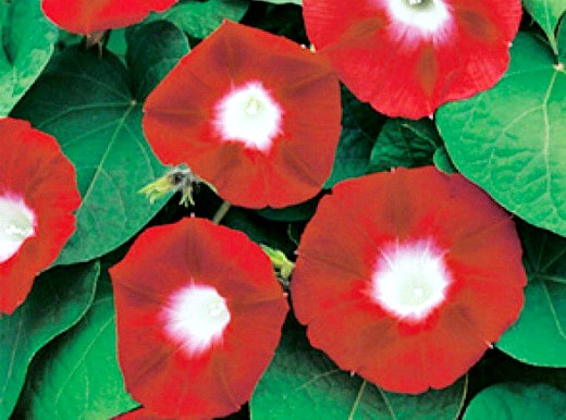 цветы ипомея, посадка и уход на дачной клумбе