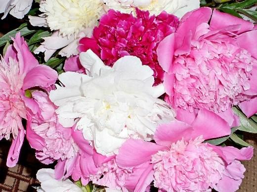 как вырастить пионы в саду - букет цветов