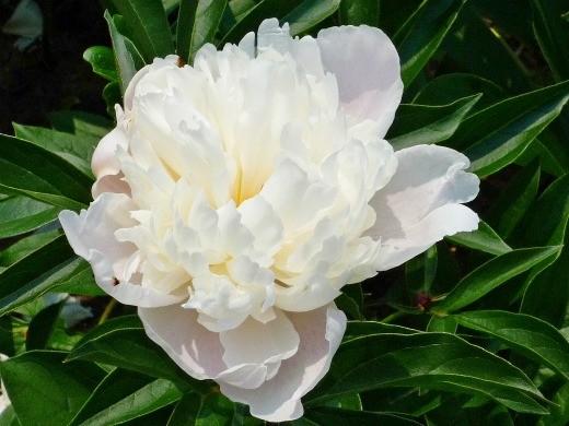 как вырастить пионы в саду - нежно-розовый