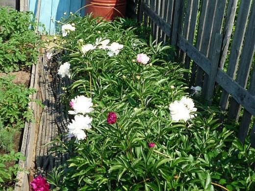 как вырастить пионы в саду - цветочная клумба на дачном участке