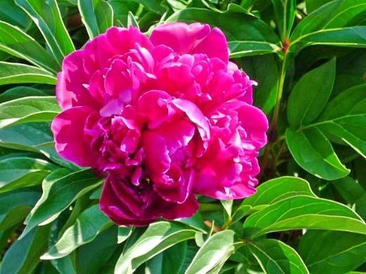как вырастить цветы пионы в саду