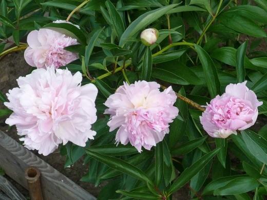 как вырастить пионы в саду - розовые цветы