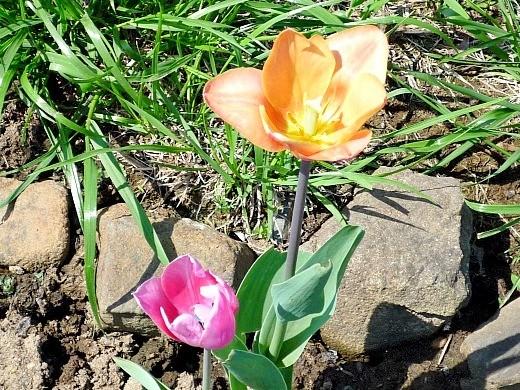 как вырастить цветы тюльпаны в саду