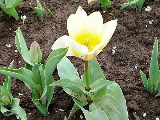 как вырастить цветы тюльпаны в саду - на даче