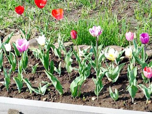 как вырастить тюльпаны в саду - на дачной клумбе
