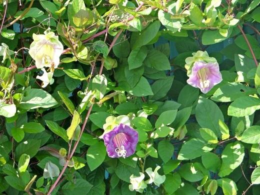 кобея лазающая, посадка и уход - цветы на сетке возле крыльца дачного домика