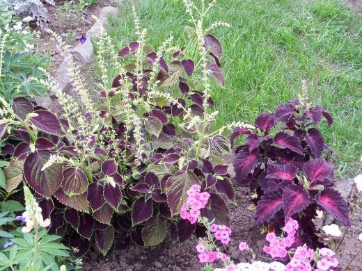 колеус, посадка и выращивание - цветение