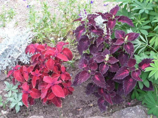 цветы колеус, посадка и выращивание - на клумбе