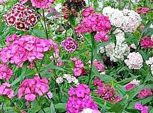 цветы турецкая гвоздика, посадка и уход