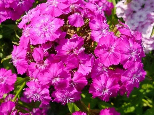 цветы турецкая гвоздика, посадка и уход - на даче