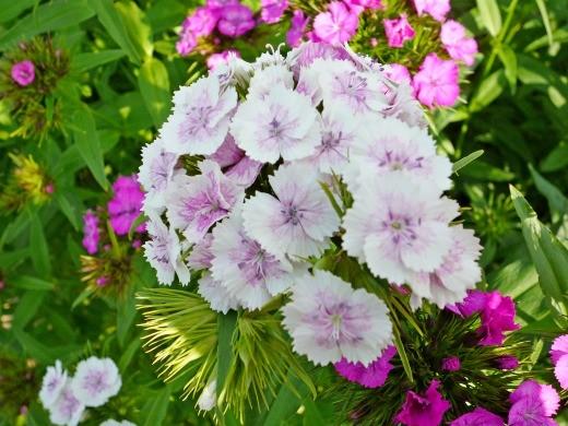 цветы турецкая гвоздика, посадка и уход - на клумбе