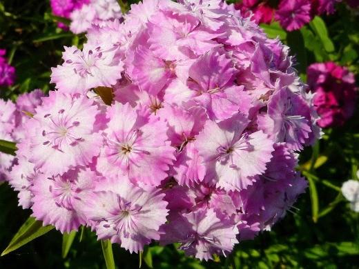 цветы турецкая гвоздика, посадка и уход - на дачной клумбе