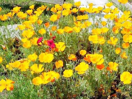 эшшольция, посадка и уход - цветы желтые и оранжевые