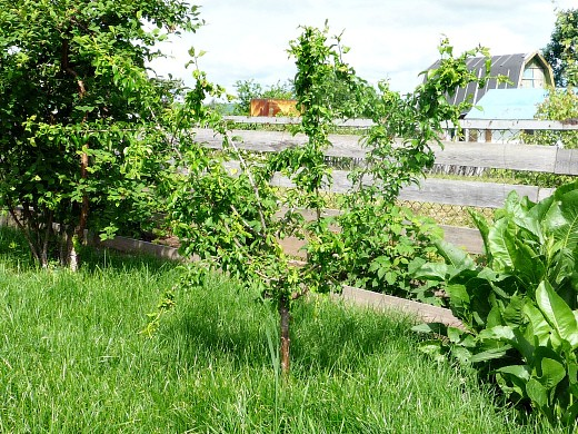 этапы жизни плодовых деревьев 1-4