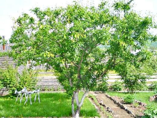 этапы жизни плодовых деревьев 1-5