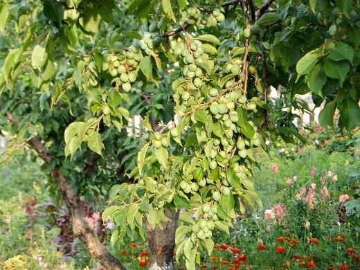 этапы жизни плодовых деревьев 1-6