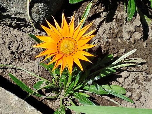 цветы гацания, выращивание из семян - на даче