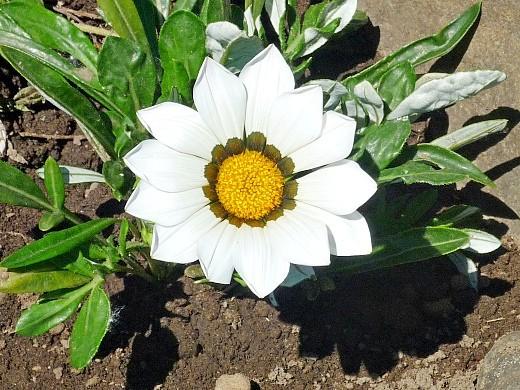 цветы гацания, выращивание из семян - на клумбе