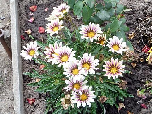 гацания, выращивание из семян - на дачной клумбе