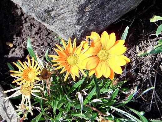 гацания, выращивание из семян - на даче