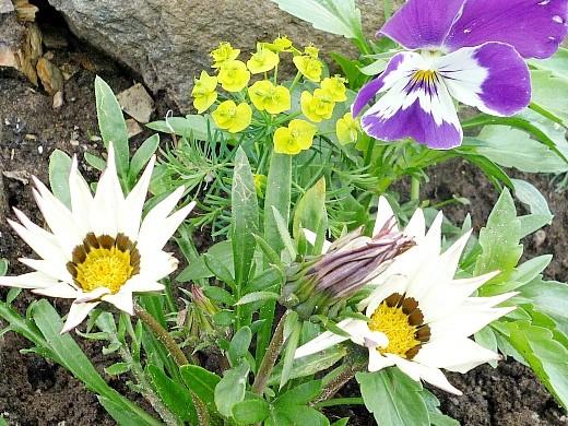 цветы гацания, выращивание из семян - с седумом и анютиными глазками