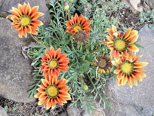 гацания, выращивание из семян 9