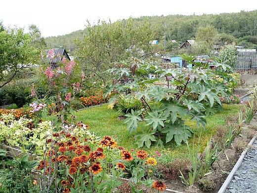 клещевина, выращивание и уход - с монтбрецией посередине зеленого газона