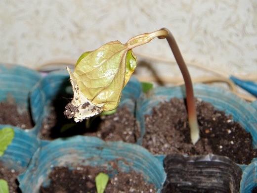 клещевина, выращивание и уход - рассада