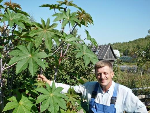 "клещевина, выращивание и уход - на даче под ""пальмой"""
