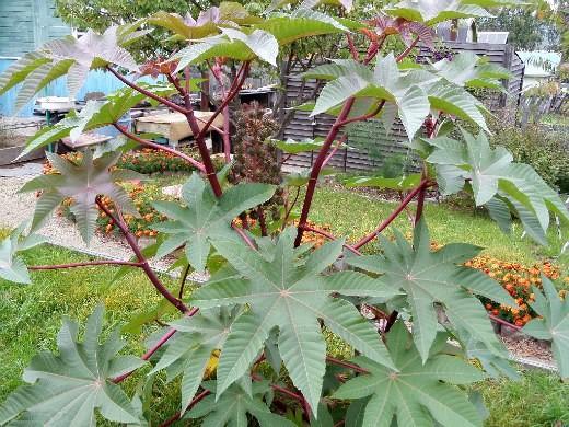клещевина, выращивание и уход - осенняя пора