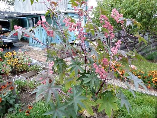 клещевина, выращивание и уход - в дачной рабатке