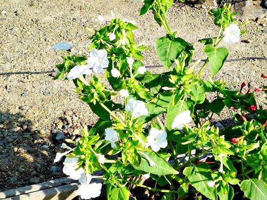мирабилис, посадка и уход - белые цветы днем