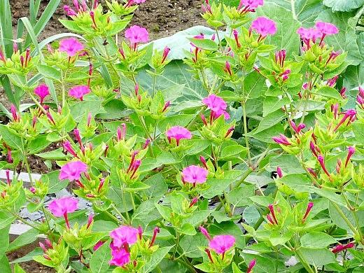 мирабилис, посадка и уход - розовые цветы днем