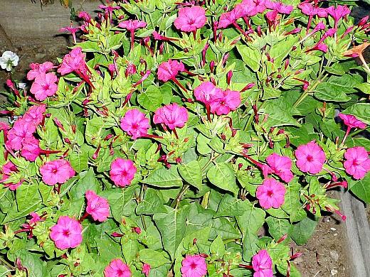 мирабилис, посадка и уход - розовые цветы ночью