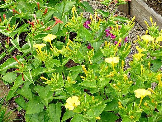 мирабилис, посадка и уход - желтые цветы днем
