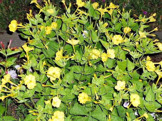 мирабилис, посадка и уход - желтые цветы ночью