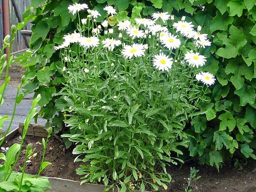 цветы ромашки, посадка и уход - на дачной клумбе