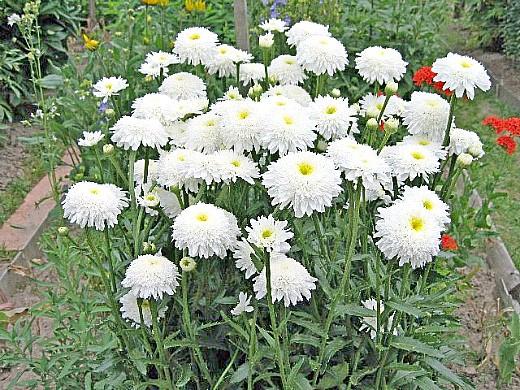 цветы ромашки, посадка и уход
