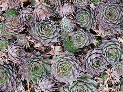 цветы молодило, выращивание и размножение - молодило кровельное
