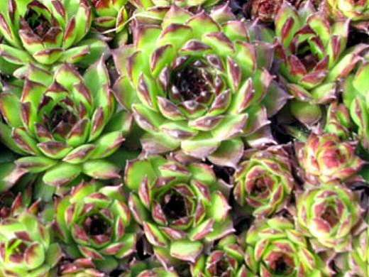 цветы молодило, выращивание и размножение 4