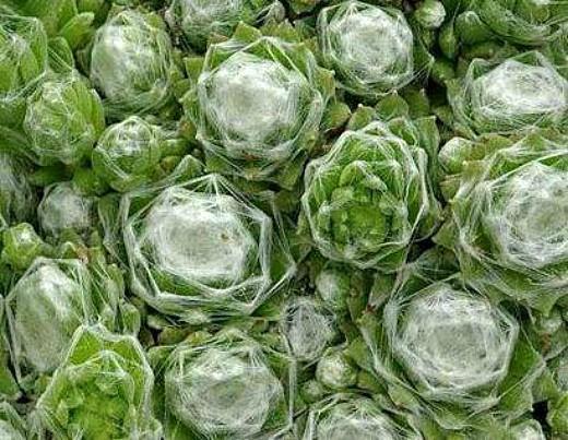цветы молодило, выращивание и размножение - паутинистое