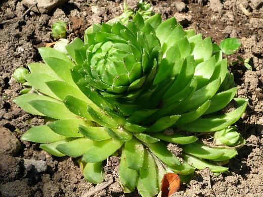 цветы молодило на даче, выращивание и размножение