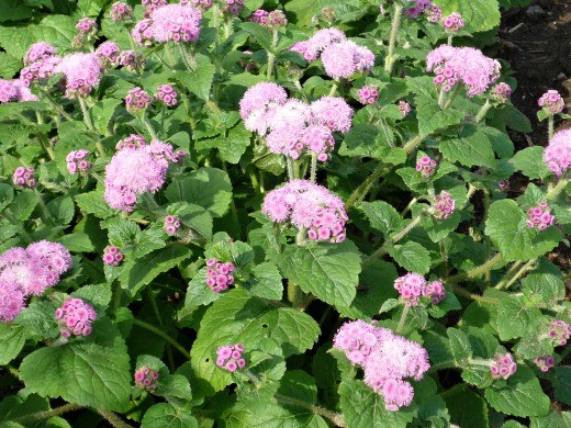 цветы агератум, выращивание и уход - на даче