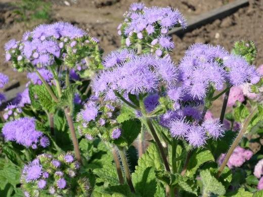 цветы агератум, выращивание и уход - на дачной клумбе